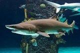 sandtiger_shark