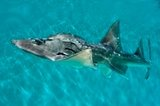 shark_ray