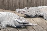 white_gators-cropped